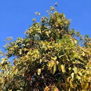 The avocado tree that supplied the fresh creamy avocado fruits for our Garden Sushi recipe.