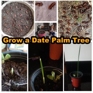 Growing a date palm tree by seed pictures.