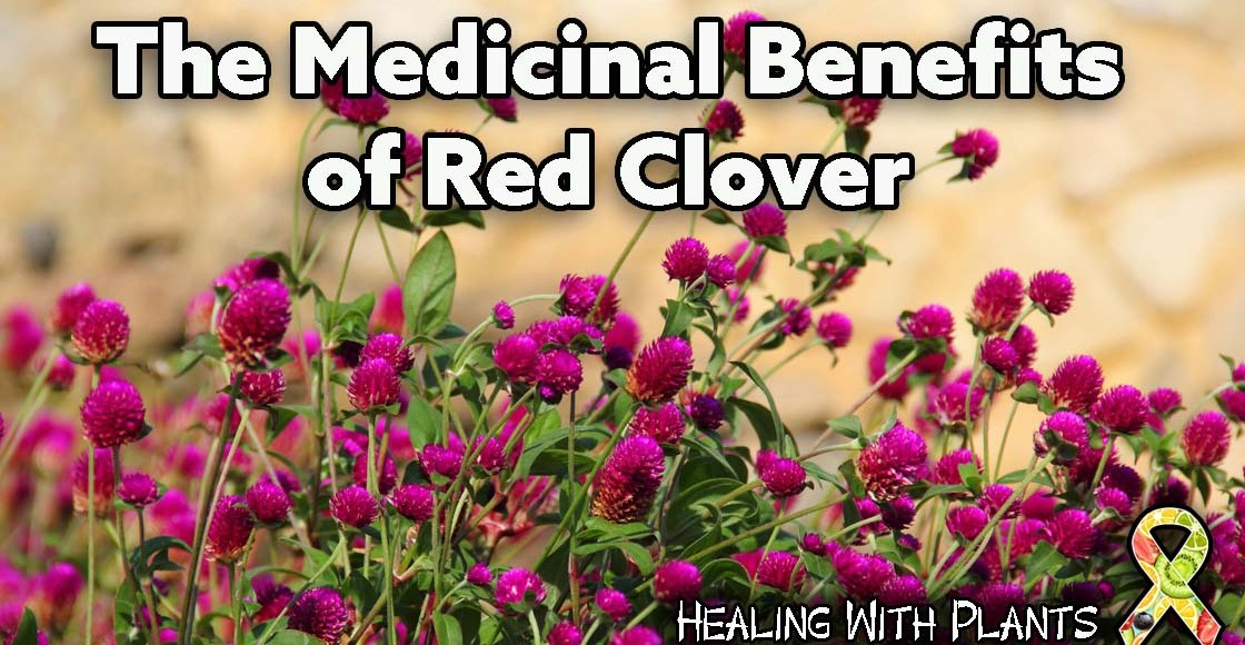 The Medicinal Uses of Red Clover