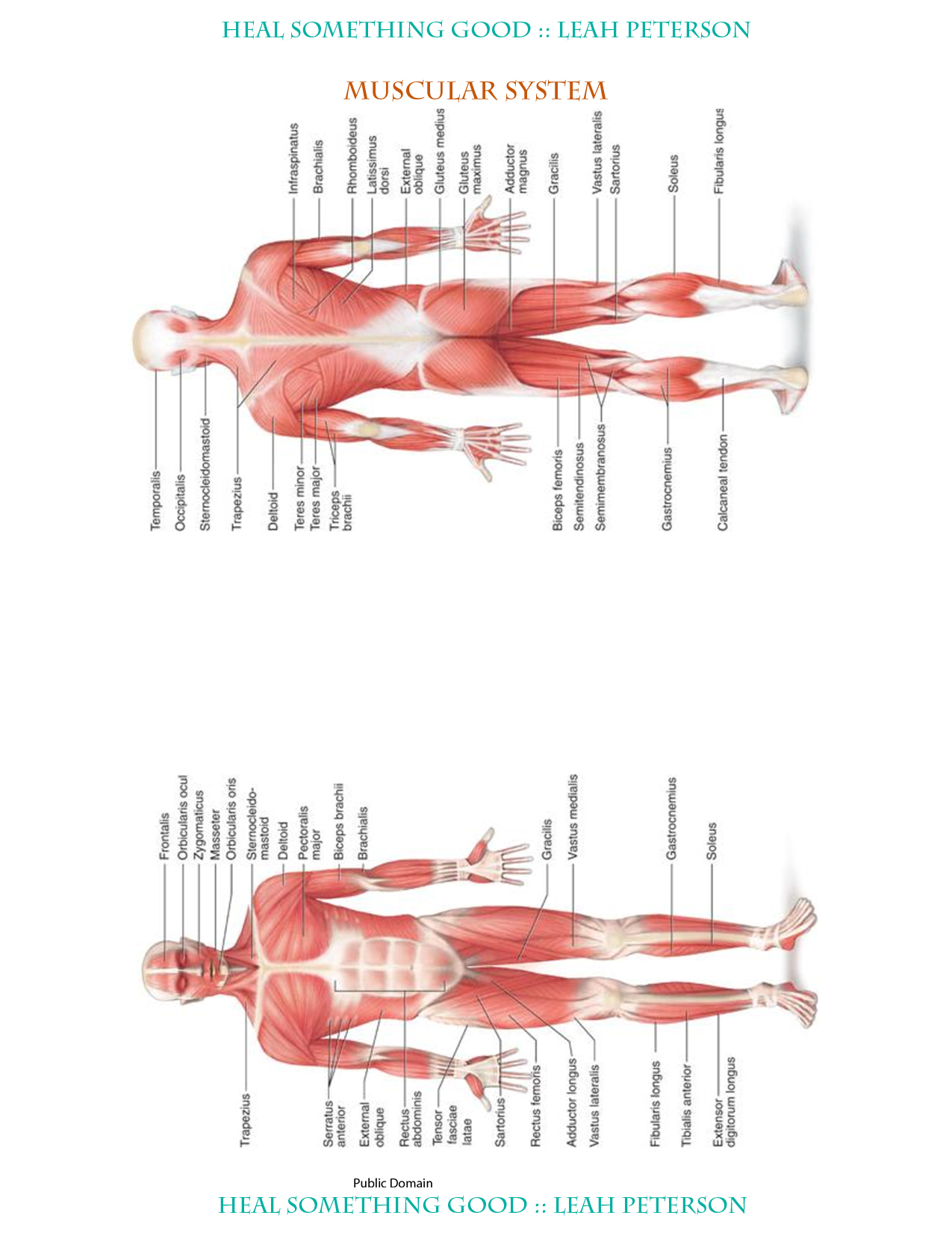 Chart Muscular System Heal Something Good