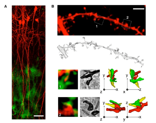 Imaging of PAP Motility around Synapses.  (A) z stack projection of confocal images showing CA1 pyramidal neurons infected with SFV(PD)-EGFP-f (red) and stratum radiatum glial cells infected with SFV(A7)-mCherry-f. Scale bar, 100 mm.  (B) Top: illustration of a labeled dendritic segment with spines contacted by labeled astrocytes (not shown for clarity; scale bar, 5 mm). This dendritic segment was then 3D reconstructed from serial EM (drawing below). The spines in the dotted square boxes on the dendritic segment are shown below this reconstruction with their neighboring PAPs (green, 1 and 2). Black and white pictures are EM images of the same synapses (intense black: DAB-labeled dendritic segment). On the far right are 3D reconstructions from serial EM showing the same postsynaptic spines (red), terminals (yellow), and PAPs (green) in different orthogonal projections. Scale, 3 mm square boxes.  Muller et al 2014.