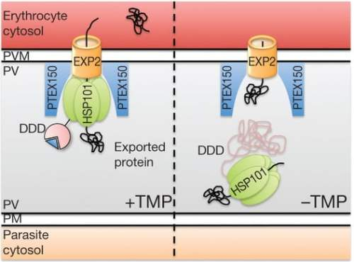 Model for mechanism of export block following inactivation of HSP101DDD. HSP101 recognizes exported substrates and drives their translocation across the PVM in conjunction with other PTEX components by unfolding and/or directional threading. Destabilization of the DDD tag results in dissociation of HSP101 from PTEX, blocking translocation. Continued interaction of HSP101DDD and EXP2 with exported substrates in these conditions suggests substrate molecules may be trapped at various steps in the translocation process.  PTEX component HSP101 mediates export of diverse malaria effectors into host erythrocytes.  Goldberg et al 2014.