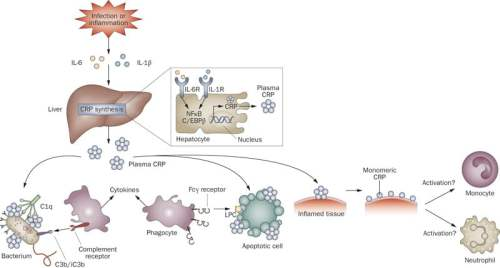 Functional CRP pathways.  In response to cytokines such as IL-6 and IL-1β, hepatic expression of CRP increases dramatically. Circulating CRP opsonizes bacteria and apoptotic cells, facilitating their clearance via the complement system and FcγR-mediated phagocytosis. CRP ligation might contribute to the release by phagocytic cells of immunomodulatory cytokines such as IL-10. Evidence is mounting that plasma CRP deposited onto inflamed tissue breaks into biologically active monomeric subunits, to which have been attributed a range of proinflammatory effects. Abbreviations: CRP, C-reactive protein; LPC, lysophosphatidylcholine.  Vyse et al 2011.