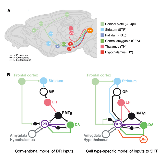 Whole-Brain Model and Hyperdirect Circuitry of Monosynaptic Inputs onto Serotonergic Neurons.  (A) A whole-brain model of selected prominent monosynaptic inputs onto serotonergic neurons.  Inputs shown onto serotonergic neurons (5-HT) from isocortex (ACA, AI, RSP), striatum (STRd, STRv), caudal pallidum (PALc), thalamus (LH, MTN), central amygdala nucleus (CEA), and hypothalamus (LHA, ZI). Line thickness represents input numbers.  (B) An updated circuitry model based on the cell-type-specific inputs to serotonergic neurons (5-HT). Conventional model adapted from Nakamura (2013). Excitatory inputs depicted with circles, inhibitory inputs with rectangles.  Colour scheme is based on the Allen reference mouse brain atlas.  Meletis et al 2014.