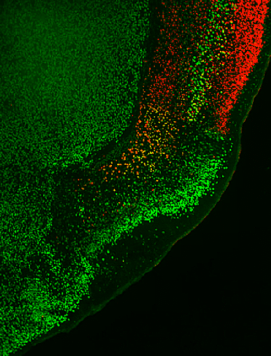 In the brains of normal mice, the six-layered neocortex-indicated by the red marker and shown in the upper right corner-is located adjacent to the three-layered olfactory cortex-indicated by the bright green marker, which also labels layer 5 of the neocortex. If the Lhx2 is missing during a critical period, the neocortex is transformed into olfactory cortex.  Image: Courtesy of Dr. Shen-Ju Chou, Salk Institute for Biological Studies.