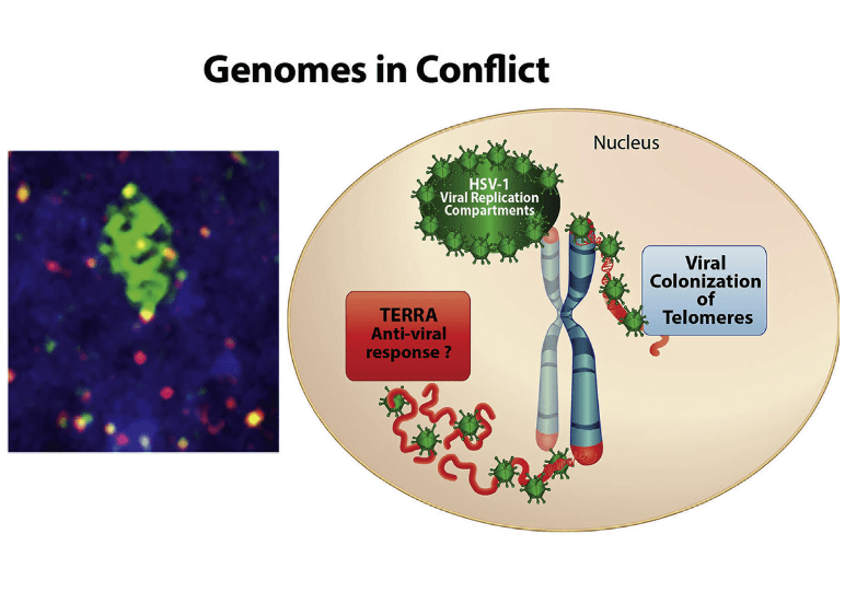Telomeres protect the ends of cellular chromosomes. We show here that infection with herpes simplex virus 1 (HSV-1) results in chromosomal structural aberrations at telomeres and the accumulation of telomere dysfunction-induced DNA damage foci (TIFs). At the molecular level, HSV-1 induces transcription of telomere repeat-containing RNA (TERRA), followed by the proteolytic degradation of the telomere protein TPP1 and loss of the telomere repeat DNA signal. The HSV-1-encoded E3 ubiquitin ligase ICP0 is required for TERRA transcription and facilitates TPP1 degradation. Small hairpin RNA (shRNA) depletion of TPP1 increases viral replication, indicating that TPP1 inhibits viral replication. Viral replication protein ICP8 forms foci that coincide with telomeric proteins, and ICP8-null virus failed to degrade telomere DNA signal. These findings suggest that HSV-1 reorganizes telomeres to form ICP8-associated prereplication foci and to promote viral genomic replication.  HSV-1 Remodels Host Telomeres to Facilitate Viral Replication.  Lieberman et al 2014.