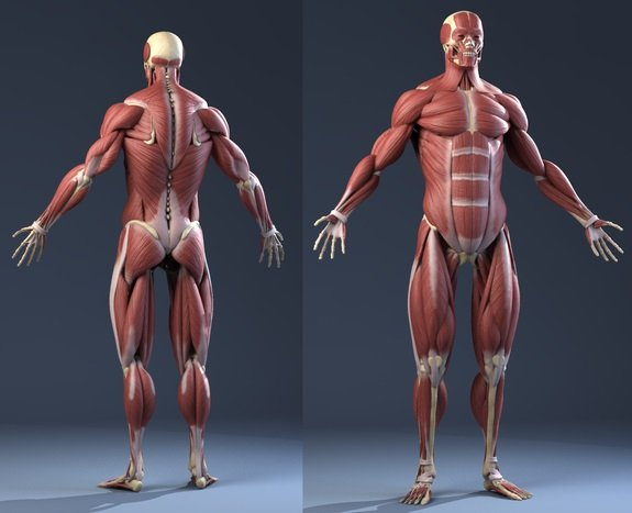 Male Anatomy (Muscles, Skeleton, Skin) 3D Model.  wouter_vugt  © Copyright 2014 Creative Crash.