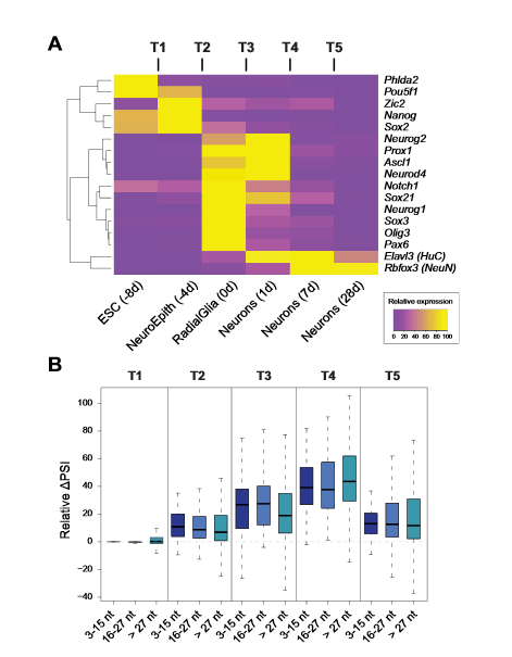 Switch-like Regulation of Microexons during Neuronal Differentiation.  (A) Heatmap showing relative gene expression levels for key ESC and neural markers, including proneural genes (Neurog2 to Pax6) and postmitotic neuronal markers (Elavl3/HuC and Rbfox3/NeuN).  (B) Distribution of relative DPSI (DPSI divided by the PSI range across the six time points) for neural microexons and longer exons at each transition.  A Highly Conserved Program of Neuronal Microexons Is Misregulated in Autistic Brains.  Blencowe et al 2014.