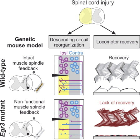 Spinal cord injuries alter motor function by disconnecting neural circuits above and below the lesion, rendering sensory inputs a primary source of direct external drive to neuronal networks caudal to the injury. Here, we studied mice lacking functional muscle spindle feedback to determine the role of this sensory channel in gait control and locomotor recovery after spinal cord injury. High-resolution kinematic analysis of intact mutant mice revealed proficient execution in basic locomotor tasks but poor performance in a precision task. After injury, wild-type mice spontaneously recovered basic locomotor function, whereas mice with deficient muscle spindle feedback failed to regain control over the hindlimb on the lesioned side. Virus-mediated tracing demonstrated that mutant mice exhibit defective rearrangements of descending circuits projecting to deprived spinal segments during recovery. Our findings reveal an essential role for muscle spindle feedback in directing basic locomotor recovery and facilitating circuit reorganization after spinal cord injury.   Muscle Spindle Feedback Directs Locomotor Recovery and Circuit Reorganization after Spinal Cord Injury.  Arber et al 2014.