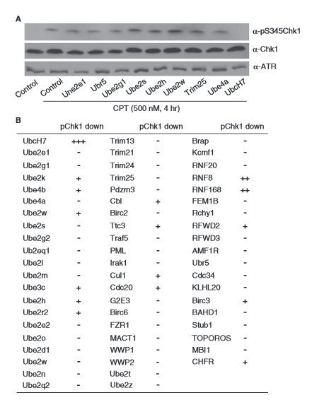 Screening of Ub genes in DNA damage-induced Chk1 phosphorylation. (A) Representative results of CPT-induced Chk1 phosphorylation in A549 cells stably infected with shRNAs targeting Ub genes. (B) Summary of effects of knockdown of E2s and known E3s on Chk1 phosphorylation. The protein band intensities of the phospho-Chk1 and total Chk1 blots in A were analyzed by the ImageJ software and the relative intensity of phospho-Chk1 was normalized to that of the total Chk1 in the corresponding sample. Using UbcH7 as a reference, the inhibition in Chk1 phosphorylation by different Ub shRNAs was categorized as no effect (−), weak (+), moderate (++), or strong (+++).  UbcH7 regulates 53BP1 stability and DSB repair.  Zhang et al 2014.