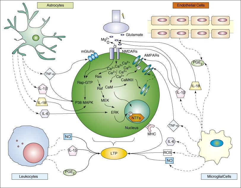 Neuroinflammation and synaptic plasticity: theoretical basis for a novel, immune-centred, therapeutic approach to neurological disorders.   Calabresi et al 2008.