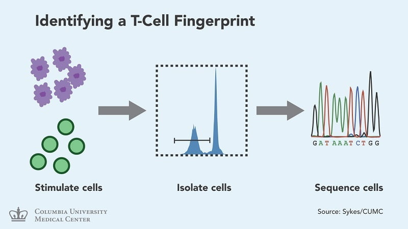 A new technique for identifying patient-specific T cells that react to donor tissue. The method could help predict rejection and tolerance in different types of transplant patients. (Credit: Laboratory of Megan Sykes/Columbia University Medical Center).