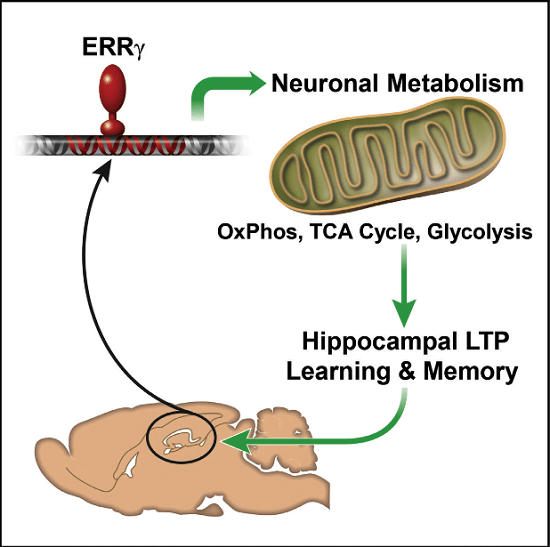 Neurons utilize mitochondrial oxidative phosphorylation (OxPhos) to generate energy essential for survival, function, and behavioral output. Unlike most cells that burn both fat and sugar, neurons only burn sugar. Despite its importance, how neurons meet the increased energy demands of complex behaviors such as learning and memory is poorly understood. Here we show that the estrogen-related receptor gamma (ERRγ) orchestrates the expression of a distinct neural gene network promoting mitochondrial oxidative metabolism that reflects the extraordinary neuronal dependence on glucose. ERRγ−/− neurons exhibit decreased metabolic capacity. Impairment of long-term potentiation (LTP) in ERRγ−/− hippocampal slices can be fully rescued by the mitochondrial OxPhos substrate pyruvate, functionally linking the ERRγ knockout metabolic phenotype and memory formation. Consistent with this notion, mice lacking neuronal ERRγ in cerebral cortex and hippocampus exhibit defects in spatial learning and memory. These findings implicate neuronal ERRγ in the metabolic adaptations required for memory formation.  Dependence of Hippocampal Function on ERRγ-Regulated Mitochondrial Metabolism.  Evans et al 2015.