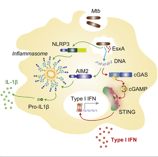 Cytosolic detection of microbial products is essential for the initiation of an innate immune response against intracellular pathogens such as Mycobacterium tuberculosis (Mtb). During Mtb infection of macrophages, activation of cytosolic surveillance pathways is dependent on the mycobacterial ESX-1 secretion system and leads to type I interferon (IFN) and interleukin-1β (IL-1β) production. Whereas the inflammasome regulates IL-1β secretion, the receptor(s) responsible for the activation of type I IFNs has remained elusive. We demonstrate that the cytosolic DNA sensor cyclic GMP-AMP synthase (cGAS) is essential for initiating an IFN response to Mtb infection. cGAS associates with Mtb DNA in the cytosol to stimulate cyclic GAMP (cGAMP) synthesis. Notably, activation of cGAS-dependent cytosolic host responses can be uncoupled from inflammasome activation by modulating the secretion of ESX-1 substrates. Our findings identify cGAS as an innate sensor of Mtb and provide insight into how ESX-1 controls the activation of specific intracellular recognition pathways.  Mycobacterium tuberculosis Differentially Activates cGAS- and Inflammasome-Dependent Intracellular Immune Responses through ESX-1.  Ablasser et al 2015.