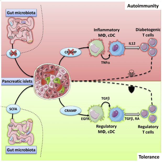 Antimicrobial peptides (AMPs) expressed by epithelial and immune cells are largely described for the defense against invading microorganisms. Recently, their immunomodulatory functions have been highlighted in various contexts. However how AMPs expressed by non-immune cells might influence autoimmune responses in peripheral tissues, such as the pancreas, is unknown. Here, we found that insulin-secreting β-cells produced the cathelicidin related antimicrobial peptide (CRAMP) and that this production was defective in non-obese diabetic (NOD) mice. CRAMP administrated to prediabetic NOD mice induced regulatory immune cells in the pancreatic islets, dampening the incidence of autoimmune diabetes. Additional investigation revealed that the production of CRAMP by β-cells was controlled by short-chain fatty acids produced by the gut microbiota. Accordingly, gut microbiota manipulations in NOD mice modulated CRAMP production and inflammation in the pancreatic islets, revealing that the gut microbiota directly shape the pancreatic immune environment and autoimmune diabetes development.  Pancreatic β-Cells Limit Autoimmune Diabetes via an Immunoregulatory Antimicrobial Peptide Expressed under the Influence of the Gut Microbiota.  Diana et al 2015.
