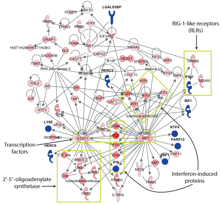 Network analysis of the 127-gene Influenza signature using Ingenuity Pathway Analysis.  Of the 127 identified genes, 71 are involved  in innate virus sensing and initiation of antiviral response pathways. Yellow boxes indicate transcription factors (STAT1, IRF7), RIG-1-like  receptors (RLRs), 2'-5'-oligoadenylate synthetases and Interferon-induced proteins that have been previously implicated  in response  to influenza infection.  Integrated, Multi-cohort Analysis Identifies Conserved Transcriptional Signatures across Multiple Respiratory Viruses.  Khatri et al 2015.