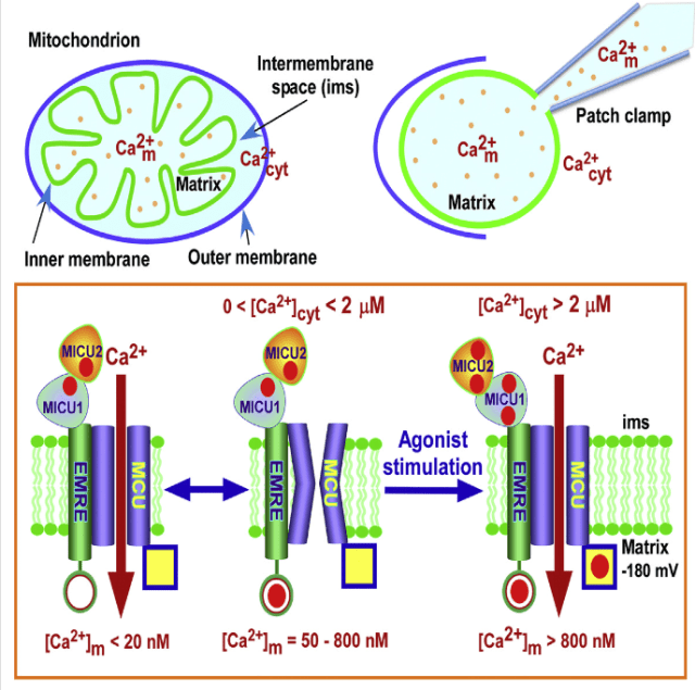 The mitochondrial uniporter (MCU) is an ion channel that mediates Ca2+ uptake into the matrix to regulate metabolism, cell death, and cytoplasmic Ca2+ signaling. Matrix Ca2+ concentration is similar to that in cytoplasm, despite an enormous driving force for entry, but the mechanisms that prevent mitochondrial Ca2+ overload are unclear. Here, we show that MCU channel activity is governed by matrix Ca2+ concentration through EMRE. Deletion or charge neutralization of its matrix-localized acidic C terminus abolishes matrix Ca2+ inhibition of MCU Ca2+ currents, resulting in MCU channel activation, enhanced mitochondrial Ca2+ uptake, and constitutively elevated matrix Ca2+ concentration. EMRE-dependent regulation of MCU channel activity requires intermembrane space-localized MICU1, MICU2, and cytoplasmic Ca2+. Thus, mitochondria are protected from Ca2+ depletion and Ca2+ overload by a unique molecular complex that involves Ca2+ sensors on both sides of the inner mitochondrial membrane, coupled through EMRE.  EMRE Is a Matrix Ca2+ Sensor that Governs Gatekeeping of the Mitochondrial Ca2+ Uniporter.  Foskett et al 2016.