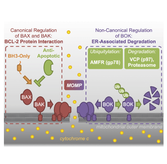 The mitochondrial pathway of apoptosis is initiated by mitochondrial outer membrane permeabilization (MOMP). The BCL-2 family effectors BAX and BAK are thought to be absolutely required for this process. Here, we report that BCL-2 ovarian killer (BOK) is a bona fide yet unconventional effector of MOMP that can trigger apoptosis in the absence of both BAX and BAK. However, unlike the canonical effectors, BOK appears to be constitutively active and unresponsive to antagonistic effects of the antiapoptotic BCL-2 proteins. Rather, BOK is controlled at the level of protein stability by components of the endoplasmic reticulum (ER)-associated degradation pathway. BOK is ubiquitylated by the AMFR/gp78 E3 ubiquitin ligase complex and targeted for proteasomal degradation in a VCP/p97-dependent manner, which allows survival of the cell. When proteasome function, VCP, or gp78 activity is compromised, BOK is stabilized to induce MOMP and apoptosis independently of other BCL-2 proteins.  BOK Is a Non-canonical BCL-2 Family Effector of Apoptosis Regulated by ER-Associated Degradation.  Green et al 2016.