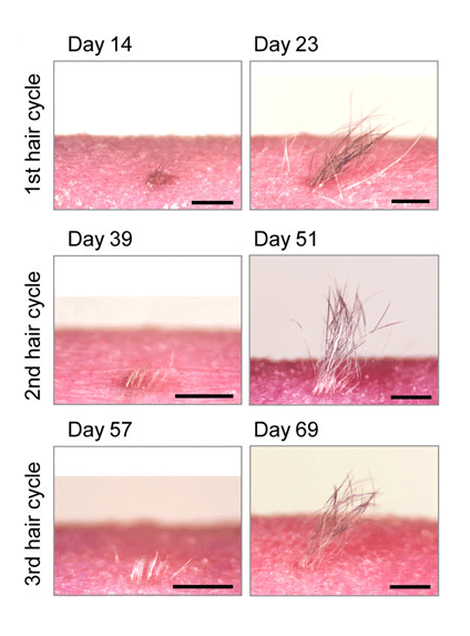 Analysis of iPS cell–derived hair types and hair cycle.  Macromorphological observations at the anagen phase of the hair cycles in iPS cell–derived bioengineered hair. Scale bars, 1 mm.  Bioengineering a 3D integumentary organ system from iPS cells using an in vivo transplantation model.  Tsuji et al 2016.
