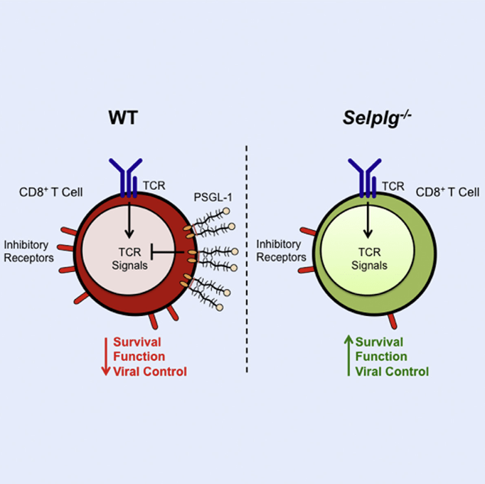Chronic viruses and cancers thwart immune responses in humans by inducing T cell dysfunction. Using a murine chronic virus that models human infections, we investigated the function of the adhesion molecule, P-selectin glycoprotein ligand-1 (PSGL-1), that is upregulated on responding T cells. PSGL-1-deficient mice cleared the virus due to increased intrinsic survival of multifunctional effector T cells that had downregulated PD-1 as well as other inhibitory receptors. Notably, this response resulted in CD4+-T-cell-dependent immunopathology. Mechanistically, PSGL-1 ligation on exhausted CD8+ T cells inhibited T cell receptor (TCR) and interleukin-2 (IL-2) signaling and upregulated PD-1, leading to diminished survival with TCR stimulation. In models of melanoma cancer in which T cell dysfunction occurs, PSGL-1 deficiency led to PD-1 downregulation, improved T cell responses, and tumor control. Thus, PSGL-1 plays a fundamental role in balancing viral control and immunopathology and also functions to regulate T cell responses in the tumor microenvironment.  PSGL-1 Is an Immune Checkpoint Regulator that Promotes T Cell Exhaustion.  Bradley et al 2016.