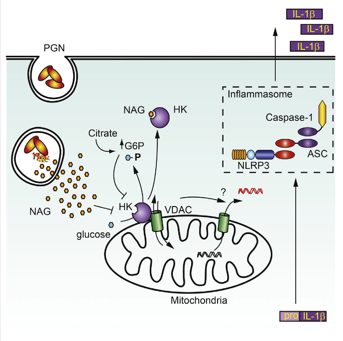 Degradation of Gram-positive bacterial cell wall peptidoglycan in macrophage and dendritic cell phagosomes leads to activation of the NLRP3 inflammasome, a cytosolic complex that regulates processing and secretion of interleukin (IL)-1β and IL-18. While many inflammatory responses to peptidoglycan are mediated by detection of its muramyl dipeptide component in the cytosol by NOD2, we report here that NLRP3 inflammasome activation is caused by release of N-acetylglucosamine that is detected in the cytosol by the glycolytic enzyme hexokinase. Inhibition of hexokinase by N-acetylglucosamine causes its dissociation from mitochondria outer membranes, and we found that this is sufficient to activate the NLRP3 inflammasome. In addition, we observed that glycolytic inhibitors and metabolic conditions affecting hexokinase function and localization induce inflammasome activation. While previous studies have demonstrated that signaling by pattern recognition receptors can regulate metabolic processes, this study shows that a metabolic enzyme can act as a pattern recognition receptor. Hexokinase Is an Innate Immune Receptor for the Detection of Bacterial Peptidoglycan. Underhill et al 2016.