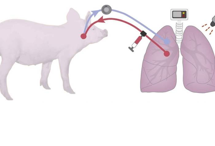 Researchers led by Columbia Engineering demonstrate severely injured donor lungs declined for transplant can be recovered outside the body by a system utilizing cross-circulation of whole blood between the donated lung and an animal host. The team states human lungs unsuitable for transplant can be recovered using their new transgenic cross-circulation system, with the hope it may provide a much larger number of organ transplants to critically ill patients.