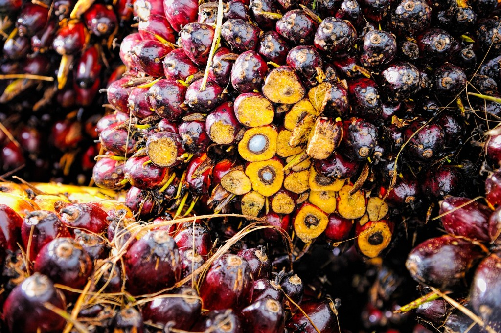 A bunch of oil palm fruit berries harvested, shows mesocarp and kernel.