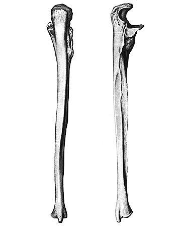 Кости предплечья. Анатомия человека. Анатомический атлас