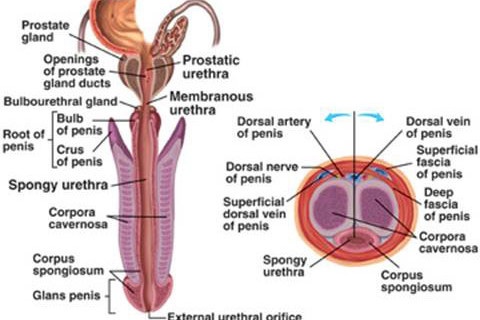 Image result for parts of a penis diagram