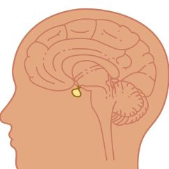 Blank Ear Diagram Without Labels Parts Of A Speaker With 10 Wiring All Data Tips On Pituitary Tumors Health Blog