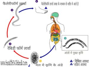 Life Cycle of Worm Infestation in Hindi