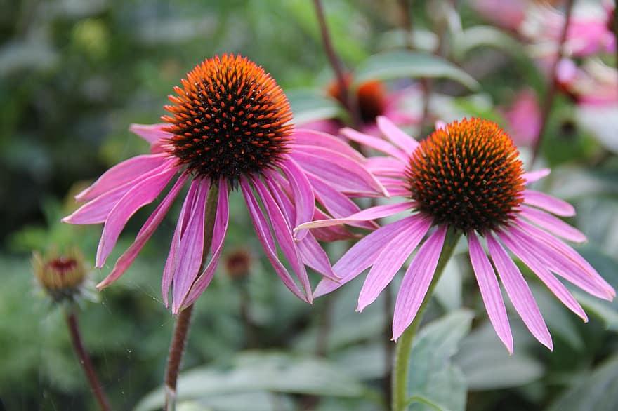 Echinacea Medicinal Plant for Sore Throat