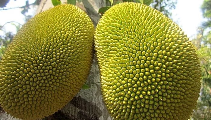 31 shocking health benefits of jackfruits