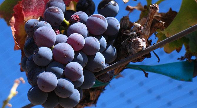 Grenache-grapes
