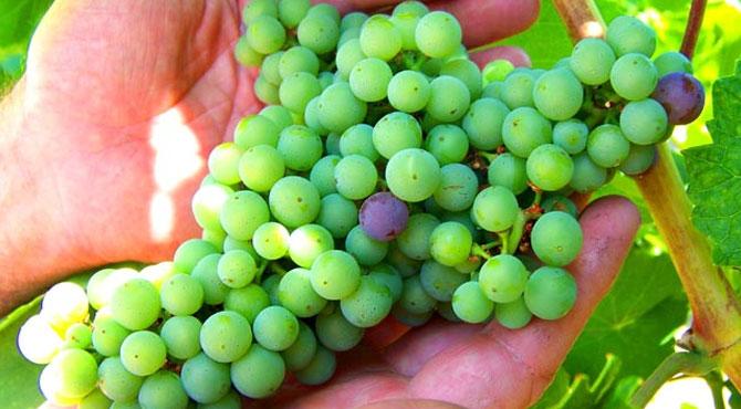 Lemberger-grapes