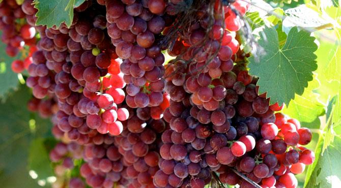 Muscat-grapes