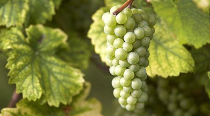 California Riesling Wine