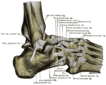 Ankle ligaments lateral
