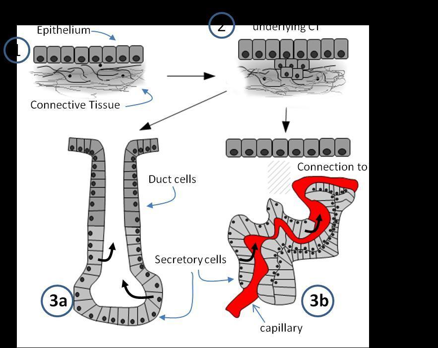 Endocrine Glands and Hormones