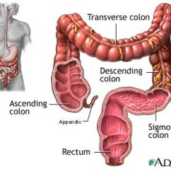 Where Are Your Appendix Located Diagram From Use Case Hotel Kidney Location Of Organs In The Abdomen La Vaca Cega Large Intestine And Anatomy