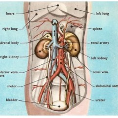 Kidney Location In Humans Diagram Kohler Automatic Transfer Switch Wiring Pain Vs Right Left And Central Abdominal La Vaca Cega Position Of Each Viewed From The Front Side