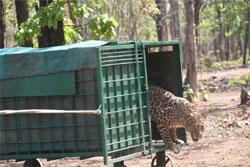 मरणासन्न हालत में लाया गया तेंदुआ स्वस्थ होकर वापस जंगल पहुँचा