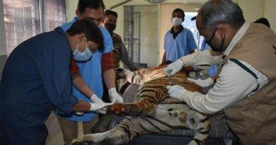 रेस्क्यू कर लाया गया एक घायल नर बाघ