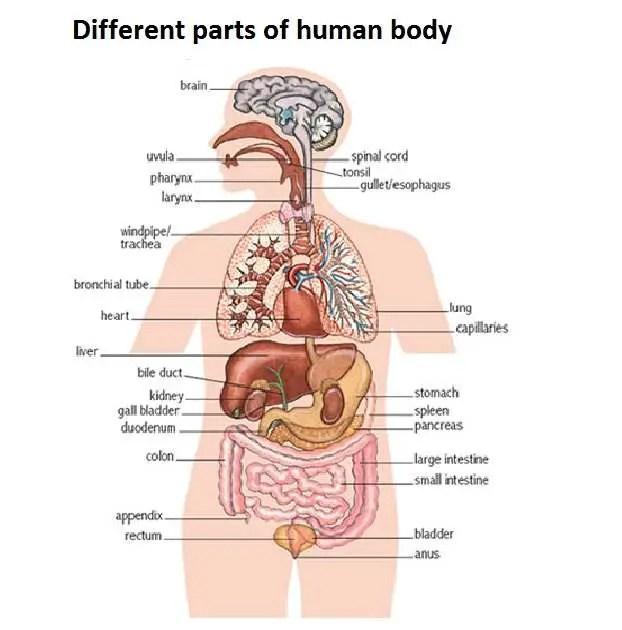 Human Body Diagram Healthiack