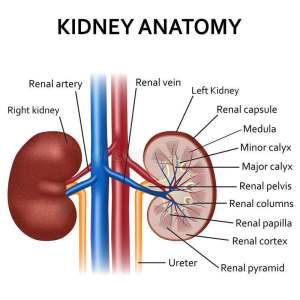 Kidney diagram | Healthiack