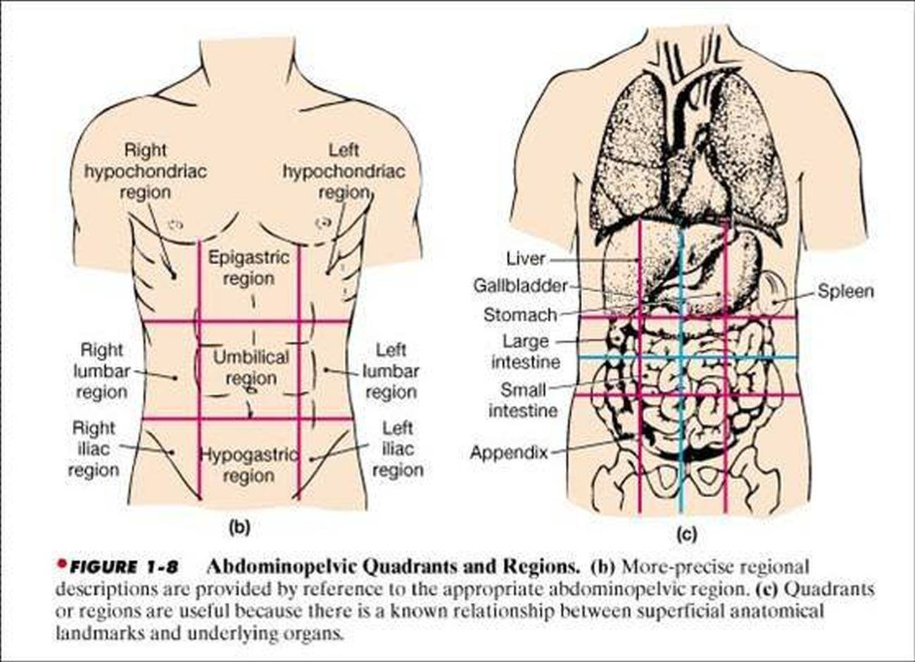 diagram of the four quadrants modine pdp wiring pictures abdominopelvic cavity