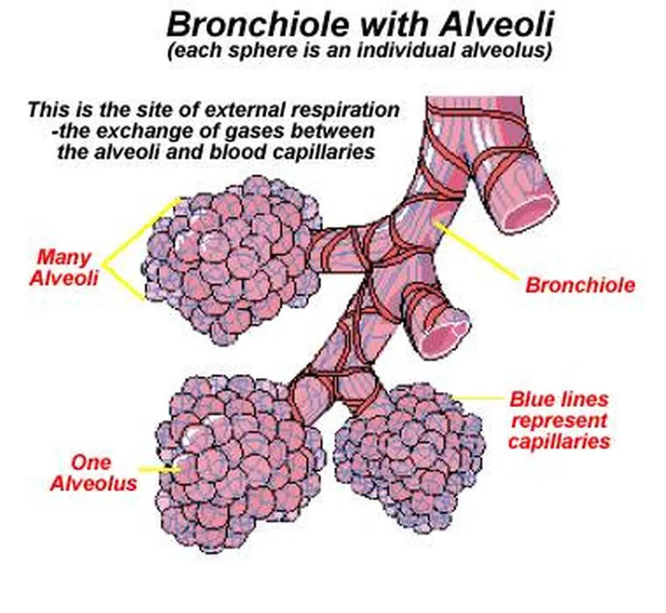 Pictures Of Alveoli