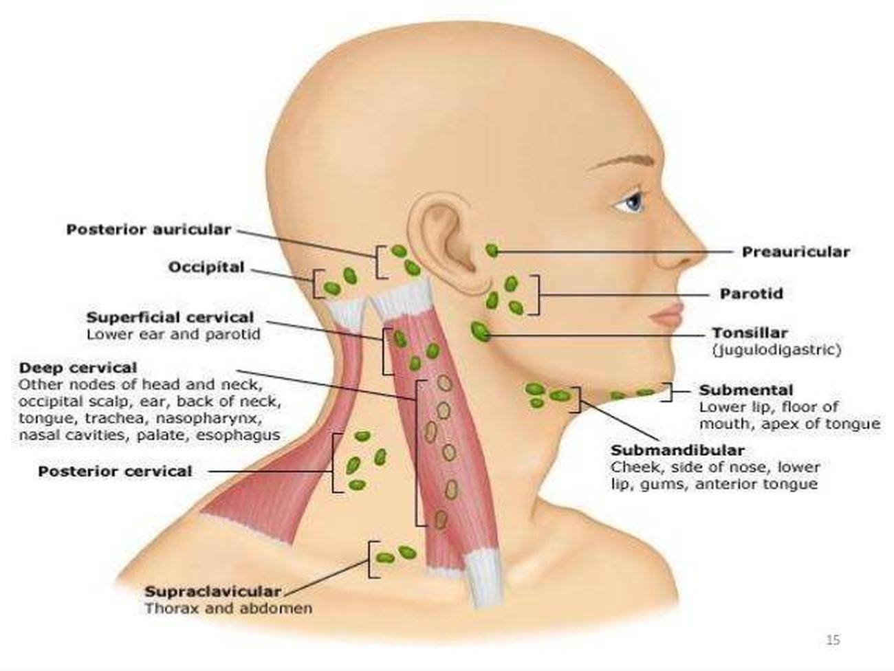 posterior cervical lymph nodes diagram draw a of how policy system works pictures anterior