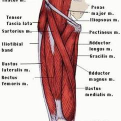 Muscle Diagram Dorsal For Pimples On Face Pictures Of Anterior Thigh Muscles