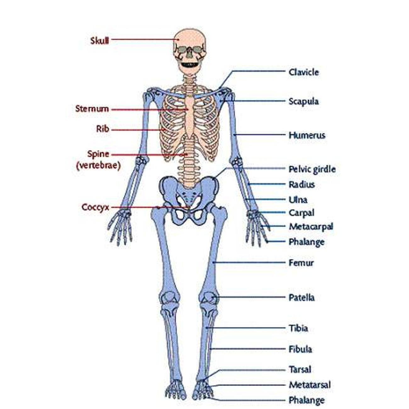 Pictures Of Appendicular Skeleton